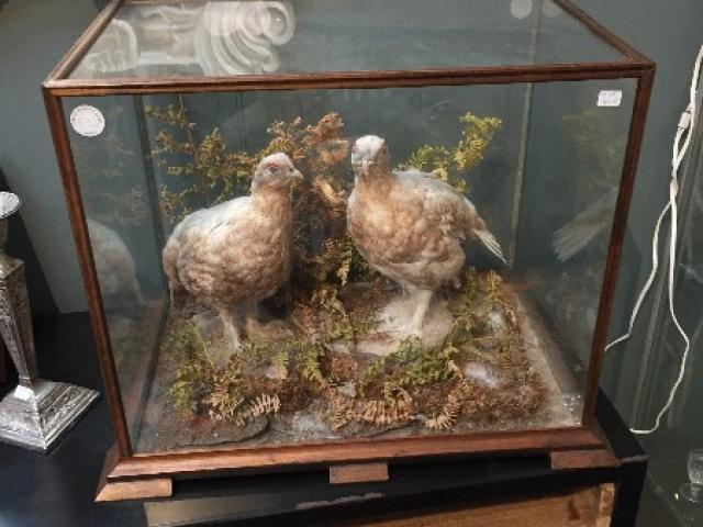 oiseaux empaillés